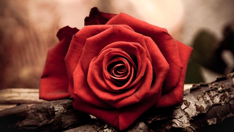 Заговор на любовь на розу