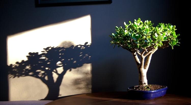 Как правильно посадить денежное дерево с заговором