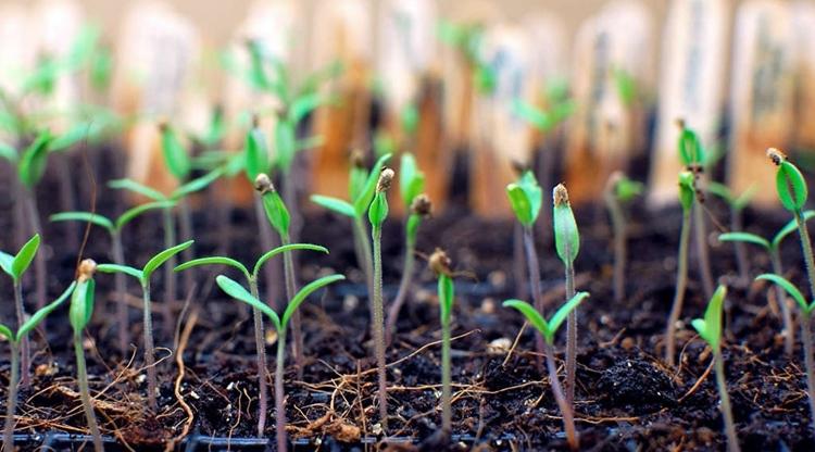 Заговоры при посеве семян на рассаду